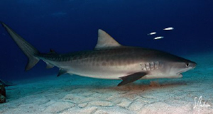 This Juv. Tiger Shark allowed me to swim side by side wit... by Steven Anderson