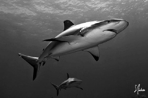 Reef Sharks over Hammertime Reef - Bahamas by Steven Anderson