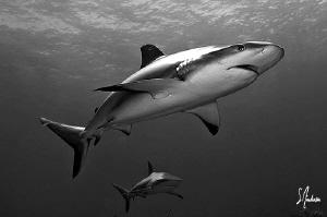 Reef Sharks over Hammertime Reef - Bahamas by Steven Anderson