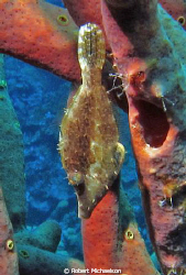 Slender File fish. Canon 95s with dual Ikelite AF 35 stro... by Robert Michaelson