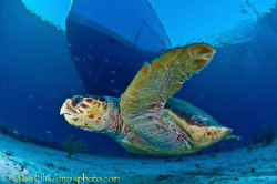 A large Loggerhead turtle swims by the dive boat looking ... by Mike Ellis