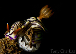Nudi with Eggs by Tony Cherbas