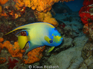 Angel fish in Cozumel by Klaus Bosbach