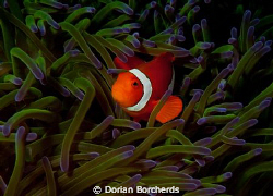 Clown Fish in Green Anemone.I found this Anemone at the e... by Dorian Borcherds