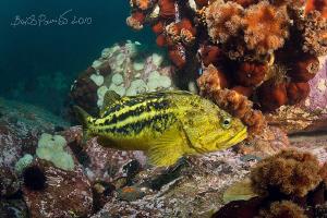 threestripe rockfish & hidden young octopus by Boris Pamikov