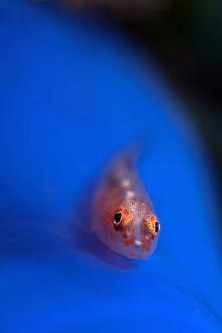 Goby on tunicate. Seraya, Bali by Doug Anderson