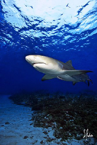 This Lemon Shark smells the bait we have placed in the wa... by Steven Anderson
