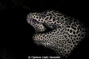 snoot morey by Cipriano (ripli) Gonzalez