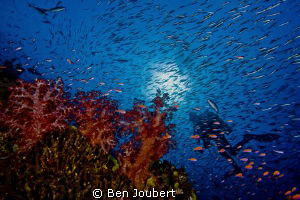 Diver seen through a wall of reef fish by Ben Joubert
