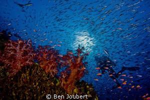 Diver seen through a wall of reef fish by Ben Joubert