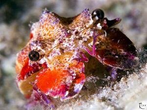 Juvenile Spanish Lobster ( size : around 5 cm small ). by Rico Besserdich