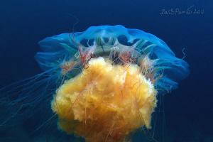 just beautifull / Lion's Mane Jellyfish   by Boris Pamikov