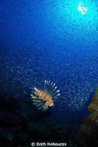Lionfish surrounded by a bait ball at the SS Thistlegorm ... by Erich Reboucas