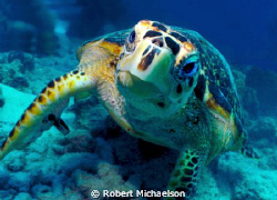 Hawksbill turtle was feeding and didn't care we were ther... by Robert Michaelson