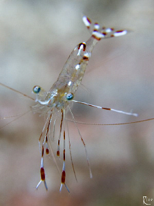 Cleaner Shrimp ( 1,5 cm ). 60mm makro lens with +10 diopt... by Rico Besserdich