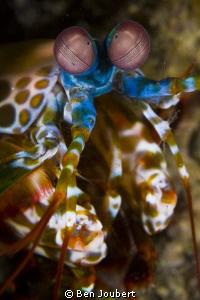 Mantis Shrimp by Ben Joubert