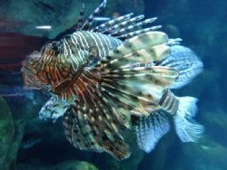 Lionfish by Tascha Eipe