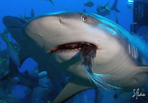 Reef Shark at Ginormous Reef swims off with a tail of a f... by Steven Anderson