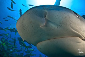Tiger Sharks are always curious and sneaky this Tiger bru... by Steven Anderson
