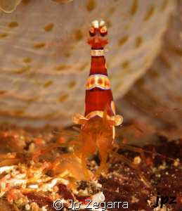 single squat anemone shrimp by Jp Zegarra