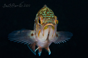 What you need? / white-edged rockfish by Boris Pamikov
