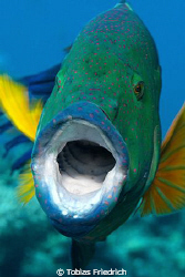 Broomtail wrasse, with open mounth. Israel, Eilat (Red Sea). by Tobias Friedrich