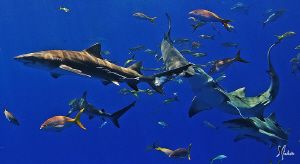 Lemon Sharks and Reef Sharks near the surface dance in ho... by Steven Anderson