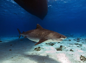 Emma the Tiger Shark ...Pregnant and under the Shear Wate... by Steven Anderson