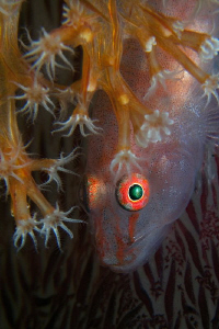 Goby on soft coral, Tulamben. by Doug Anderson