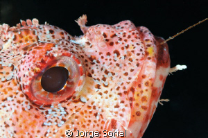 Scorpion fish posing proudly by Jorge Sorial