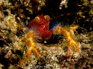 Big Eyed Squat Lobster.  We had a lot of fun watching the... by John Hill