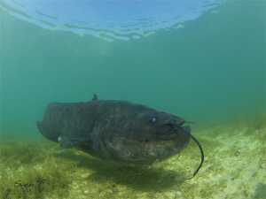 Wels catfish very cool dive! by Sven Tramaux