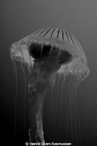 Havs Magnat (Jelly fish) by Henrik Gram Rasmussen