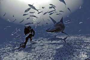 This is the first Tiger Shark visit of the trip and would... by Steven Anderson