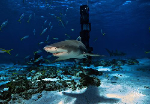 Lemon Shark swim around and investigate everything at Tig... by Steven Anderson