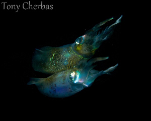 Squid and Reflection by Tony Cherbas