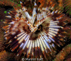 Large tube worm by Marylin Batt