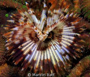 Large tube worm by Marylin Batt