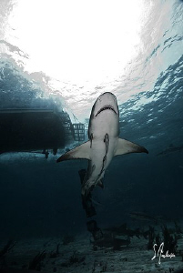 Lemon Shark Rising under the shadow of the Shear Water at... by Steven Anderson