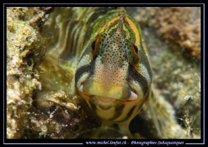 My first time encounter with Fresh Water Blennies... Que ... by Michel Lonfat