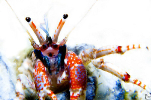High-Key shot of a juvenile hermid crab. This small ( 1 c... by Rico Besserdich