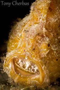 Frogfish: Say Ahhhh by Tony Cherbas