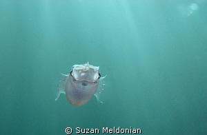 Nowhere to run. Baby squid-  about 2 inches long. I was ... by Suzan Meldonian