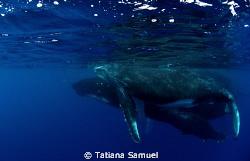 Vava'u Group - Tonga  Mum and calf aving a swim by Tatiana Samuel