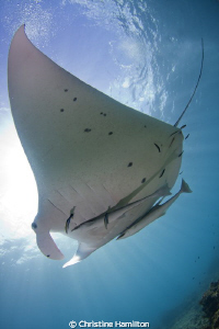 Magnificent Manta by Christine Hamilton