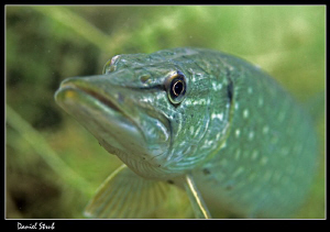Portrait of a young Pike :-D by Daniel Strub