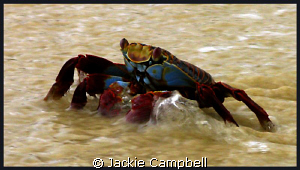 Sally light foot crab in the shallows. by Jackie Campbell