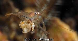 Shrimp relaxing or sunning itself. Just sat out on this l... by Suzan Meldonian