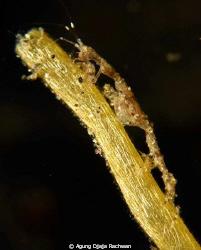 Skeleton Shrimp . It is about 1 cm long and 0,5mm wide ..... by Agung Djaja Rachwan