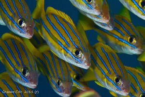 Schooling stripes. by Graeme Cole